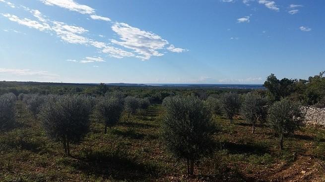 Junge Olivenbäume in den Hainen der Chiavalons in Vodnjan. Foto: Facebook