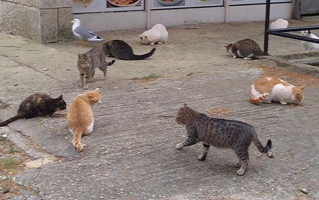 Katzen auf Verudela. Sterilisierte und gesunde Katzen erkennt man an der Markierung an der Ohrspitze. Foto: InIstrien.hr, Autor: Vilijam Žufić