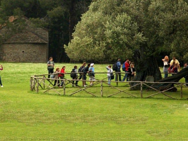 Die Stara Maslina auf Brijuni ist um die 1600 Jahre alt, Olivenöl wurde schon lange vor ihr in Istrien produziert. Foto: brijuni.hr